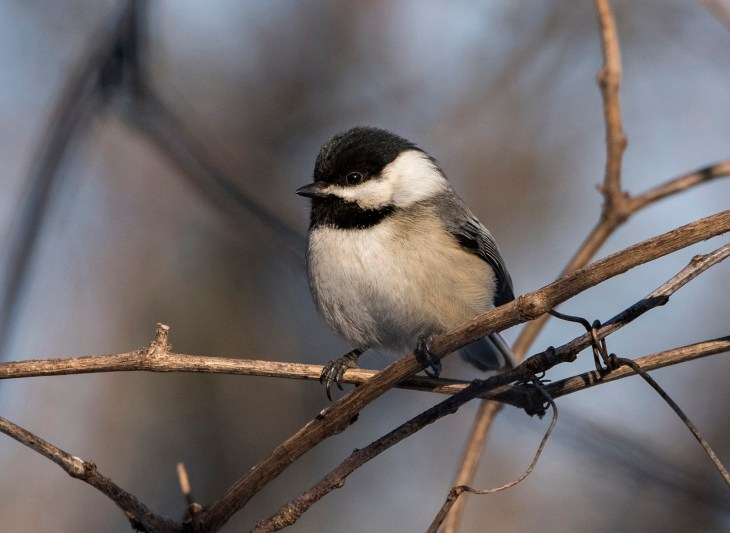 Black-Capped-Chickadee-by-Carol-Freeman