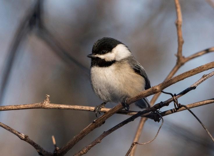 Black-Capped-Chickadee-by-Carol-Freeman