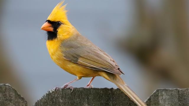 Rare Yellow Cardinal Photographed in Alabaster,Alabama