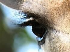 giraffe eyelashes