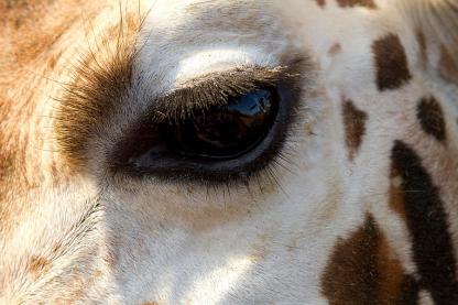 giraffe-eye-carrie-cranwill