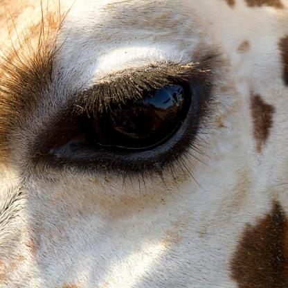 giraffe-eye-carrie-cranwill