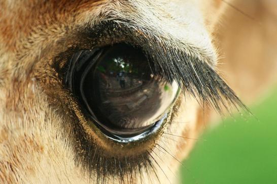 giraffe-eye-yuri-peress