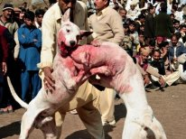 dog fighting